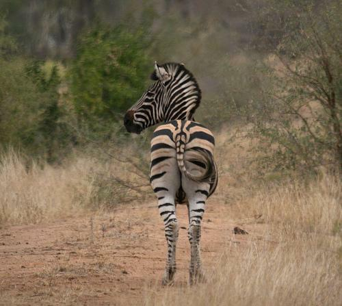 Back of Zebra