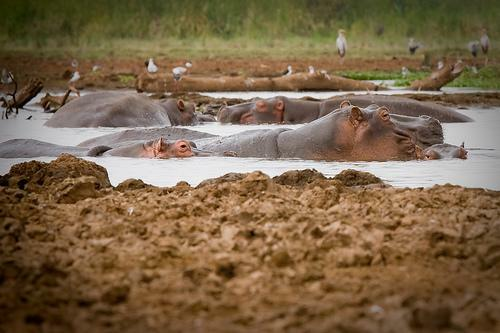 Hippos in the Mud