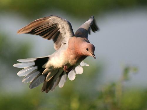 Landing Dove