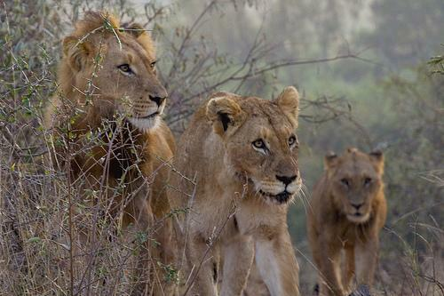 Curious Lion Family
